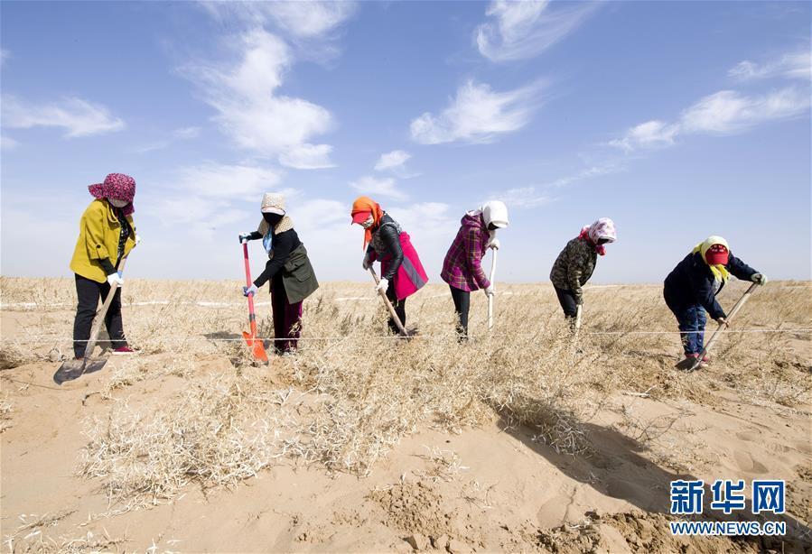 (环境)(1)种植梭梭 增绿沙漠