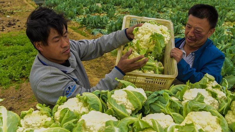 河北故城:菜花种植 助力脱贫