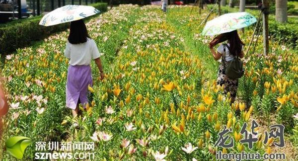 国庆节市民可到观澜湖赏百合花