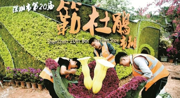 全国最大簕杜鹃花展明起深圳绽放