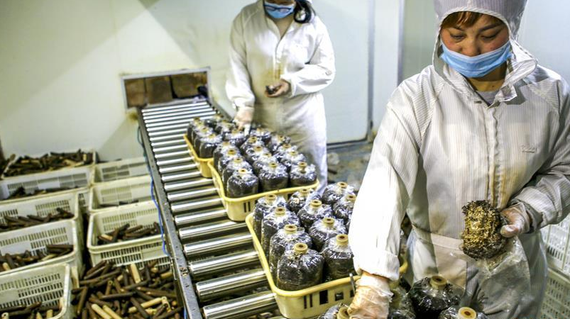 河北饶阳:工厂化蘑菇种植铺就致富路