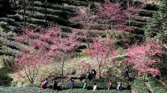 闽西连城:高山茶园冬赏樱
