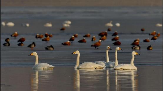 河北宣化:数九寒天洋河水库天鹅舞