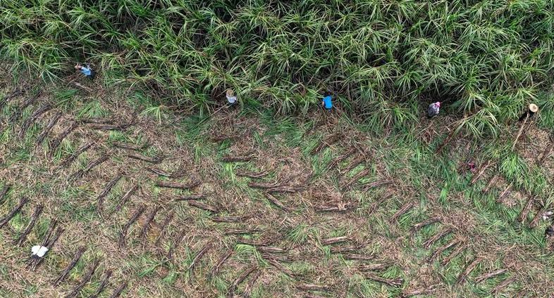 钦州:抢收甘蔗备春种