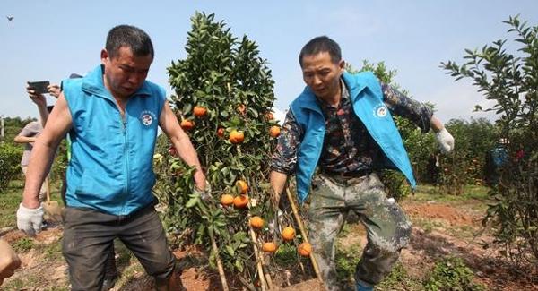 宝安已累计回收年花年桔逾23万盆 减量超过1700吨