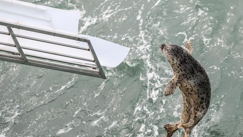 大連:24只斑海豹被放歸大海