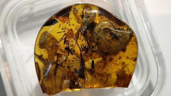 中国科学家在琥珀中发现史前海洋动物