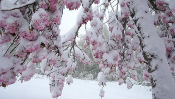 法国一小城五月飘雪 鲜花雪花同框比美