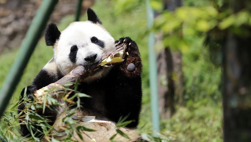 """全球唯一大熊猫三胞胎姐姐""""?#35753;取背?#21151;交配"""