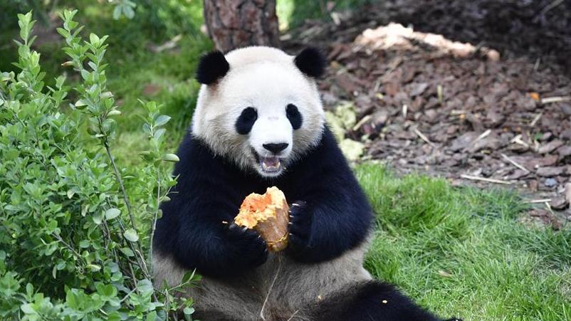 青藏高原的首家熊猫馆开放 已完全适应高原气候