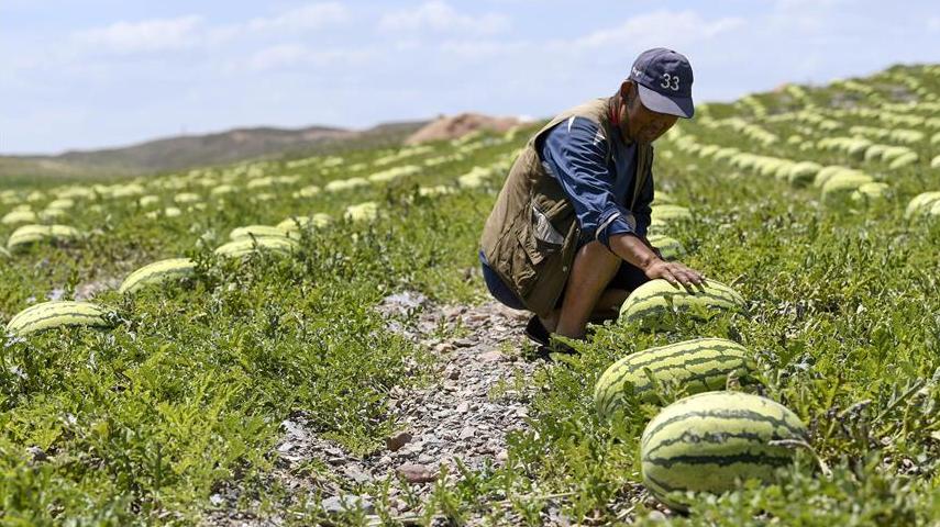 在干旱核心区如何种硒砂瓜?这个地方用这种办法…