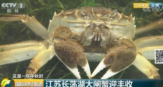长荡湖大闸蟹上市啦!三两母蟹每斤120多元,你要当第一个吃螃蟹的人吗?
