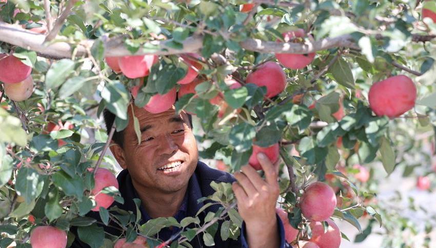 """""""苹果之乡""""90万吨苹果红了"""