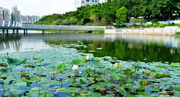 寶安水經注·新橋 | 水光瀲滟鳥語聲聲 新橋的河岸線愈加靈動