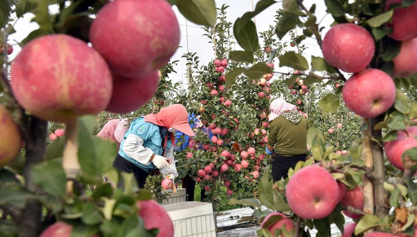 金秋时节 500余亩矮砧苹果喜获丰收