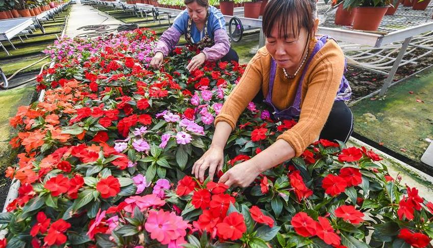 河北霸州:花卉种植助力乡村振兴