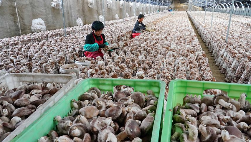 30万吨鲜菇助力乡村振兴