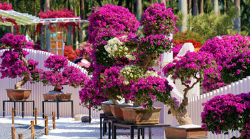 21st Bougainvillea Show in town