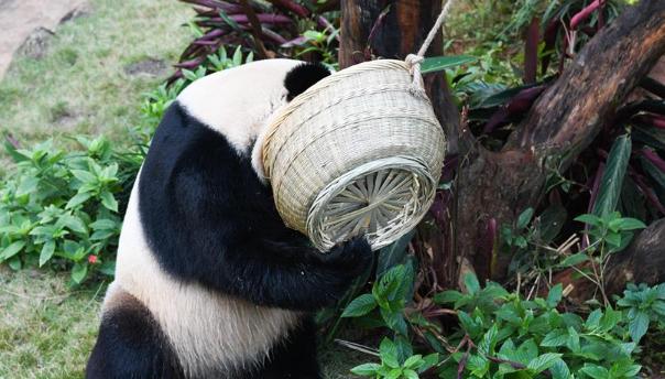 海口:大熊猫乐享暖冬