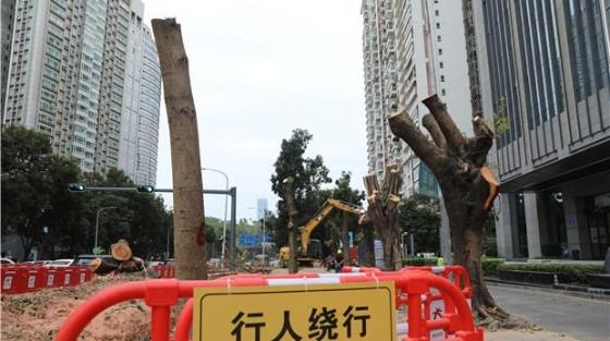 曾经绿树成荫如今光秃秃一片 红荔路景田片区行道树为何被砍?