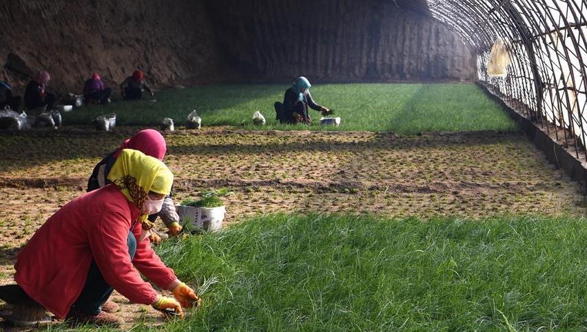 温室小沙葱 致富大产业