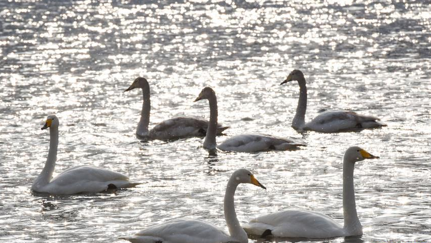 新疆库尔勒:天鹅的冬日之约