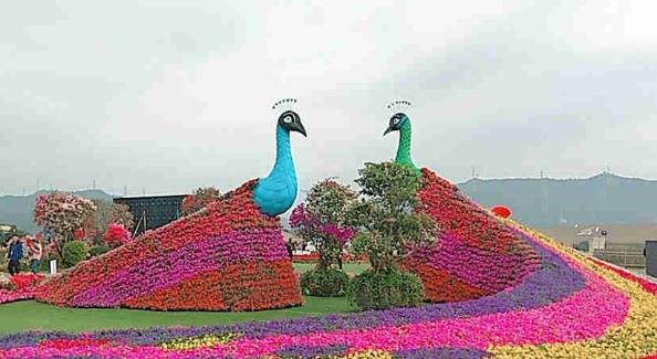 花海里看彩云舞 光明区2020年迎新春花卉展活动启动