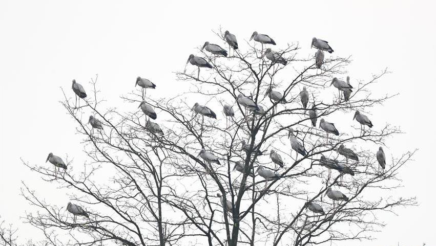 """树上""""长鸟""""了!贵州黔西群鸟舞春"""