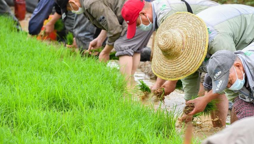 广州:海珠湿地稻田插秧忙