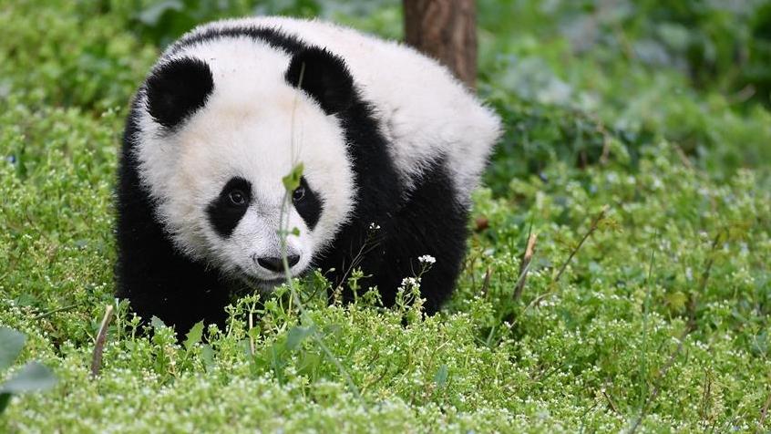 秦岭大熊猫宝宝健康成长