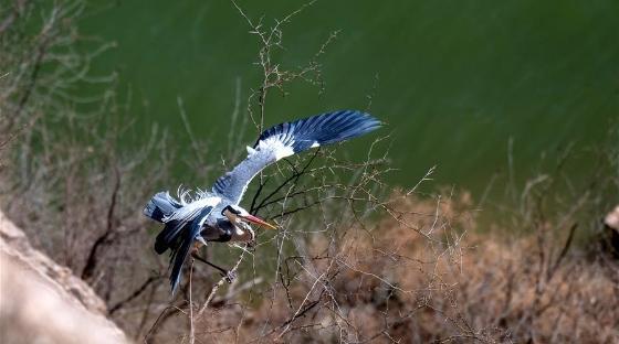 山西平陆黄河湿地迎来夏候鸟