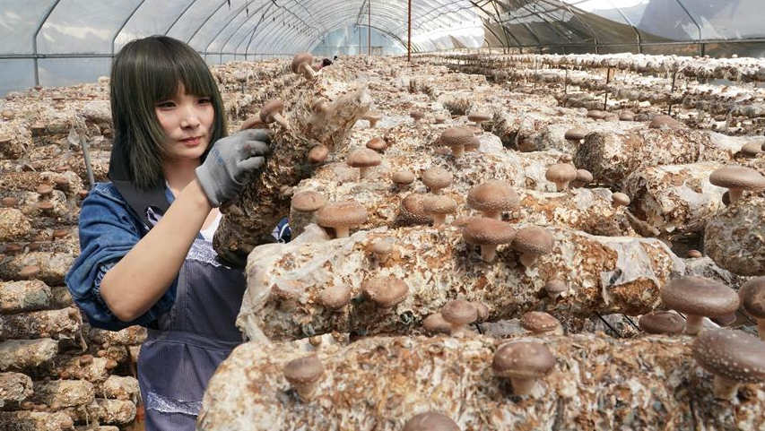 河北青龙:5100万棒食用菌产业助脱贫