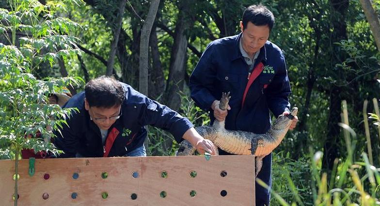 安徽:32条扬子鳄放归野外