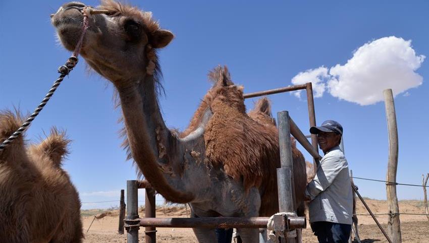 内蒙古阿拉善右旗:发展骆驼产业 助力乡村振兴