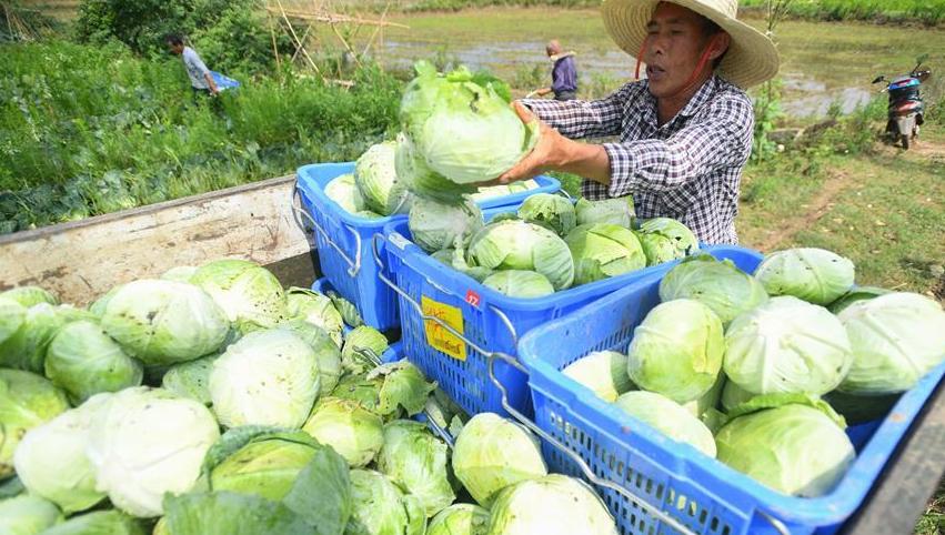 蔬菜产业助农脱贫增收