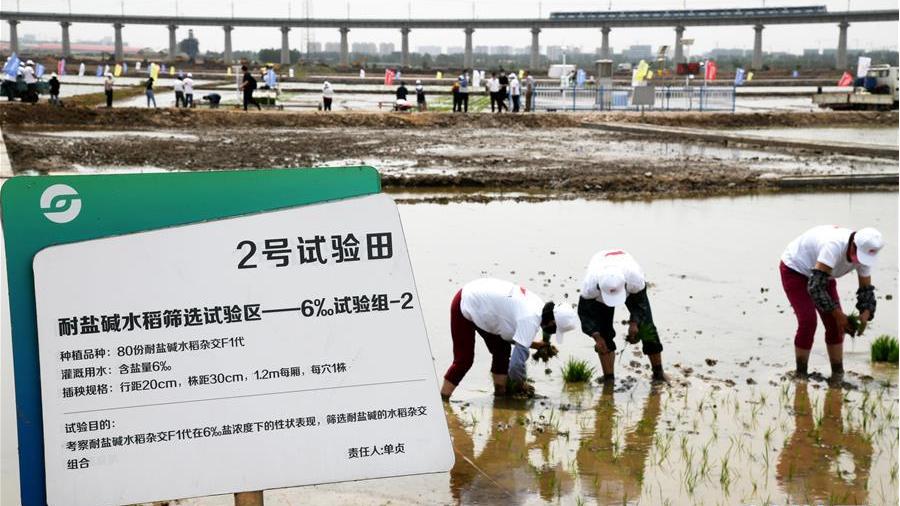2020年海水稻全国联合插秧活动启动