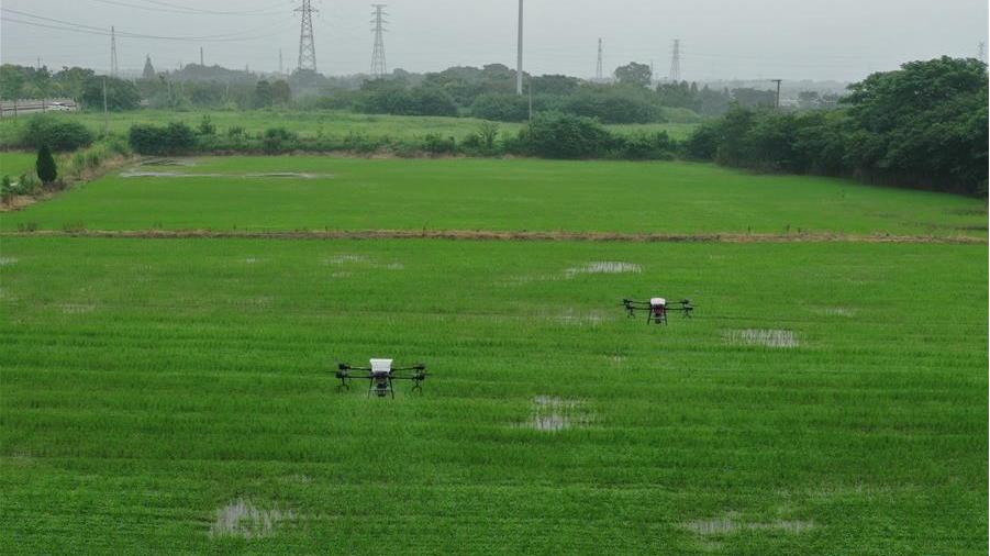浙江湖州:三千余亩稻田 无人机施肥