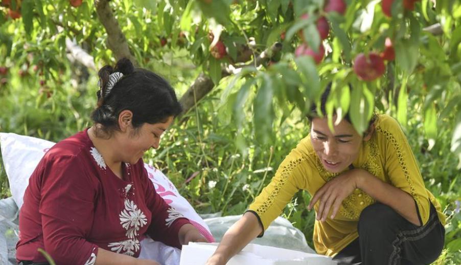 新疆疏附:蜜桃种植助农增收致富