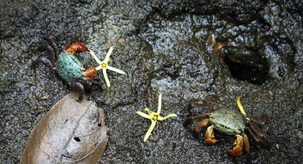 """惊喜""""蟹逅""""!这群栖息在古银叶树群落里的""""小可爱""""活得太滋润啦"""