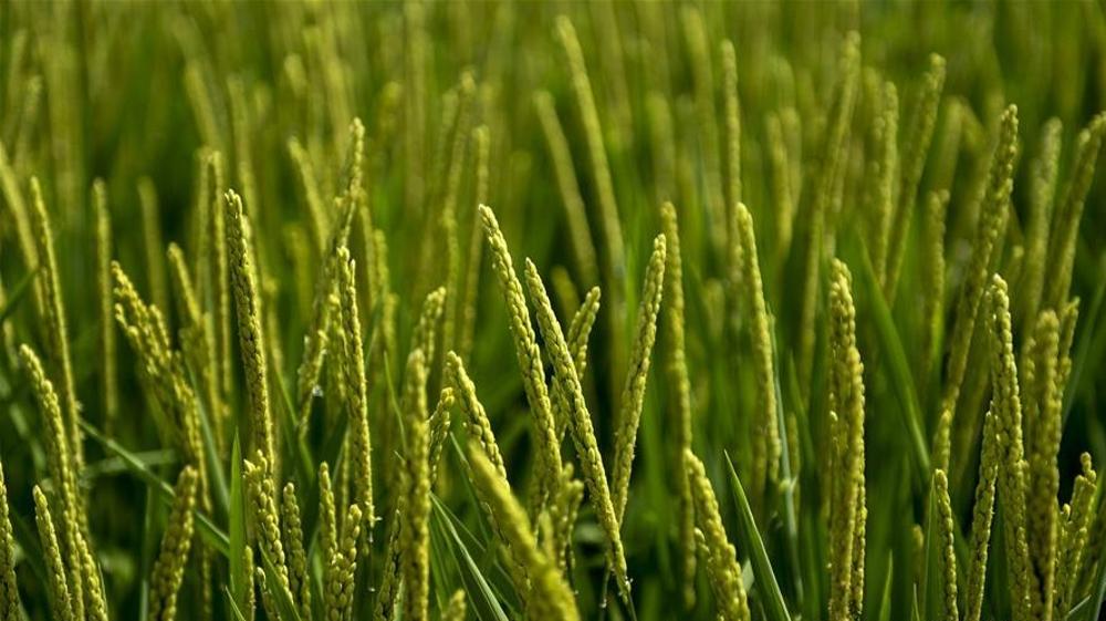 吉林永吉:水稻长势喜人