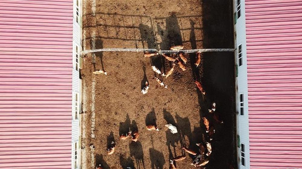 黑龙江东宁:肉牛养殖助脱贫