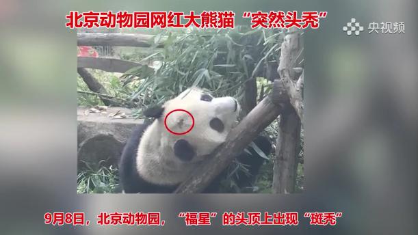 """北京动物园""""网红""""大熊猫有点头秃"""