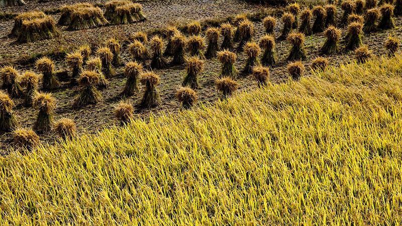 国家粮食和物资储备局:优质粮食工程总投入超815亿元