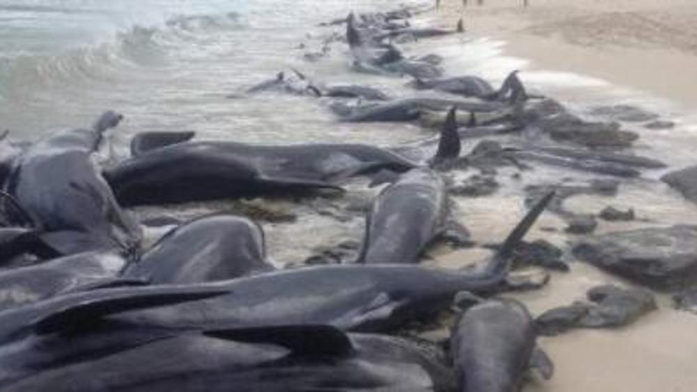 约470头鲸鱼搁澳大利亚南部海岸,其中108头鲸获救
