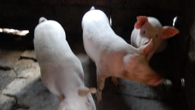 病毒来源锁定进口北美猪头 天津两起疫情源头破案了!