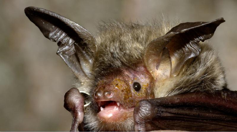 研究:日本菊头蝙蝠身上发现类似新冠的病毒,相似度达80%