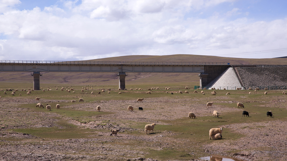 意大利羊群窜入列车轨道 近百只羊遭火车辗轧致死