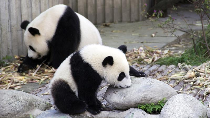 陕西 成为世界第三大大熊猫繁育基地