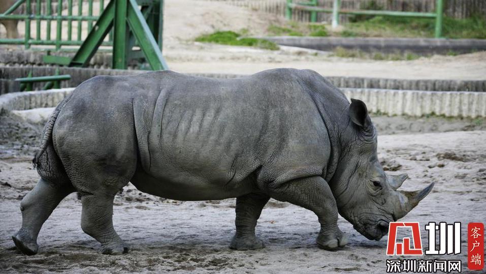 萌萌哒!深圳野生动物园里的犀牛和孔雀聚餐啦