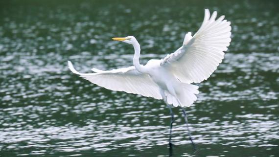 IN视频•瞰盐田⑩|水清如翠、白鹭成群……这样的避风塘,真美!
